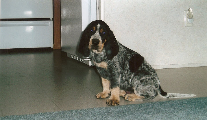 High Country Bluetick Cameron Bluetick Puppies For Sale High